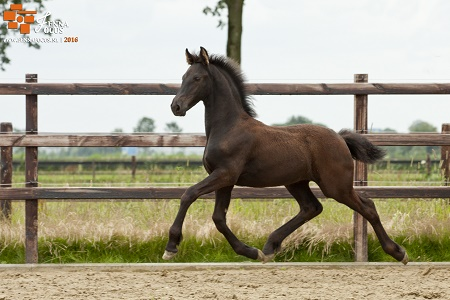 stap draf rit paard
